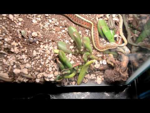 Birth of Garter Snakes