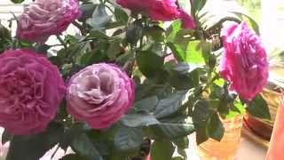 Роза. Комнатные розы Микс Патио, роза Кордана(Я начала выращивать розы зимой, и кое-кто зацвел у меня на окне в Сибири третий раз за 5 месяцев! Более того,..., 2014-05-12T10:06:20.000Z)