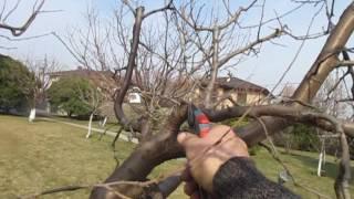 видео Урожай сливы в 2016