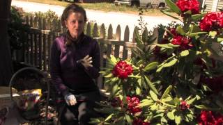 How Do I Fertilize Rhododendrons? : More Gardening Advice