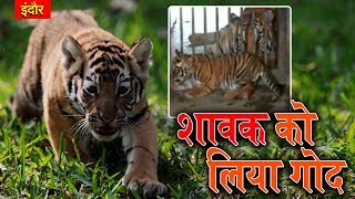 Tiger Cub Adopted By Agrawal Family From Indore Zoo On Children's Day   Talented India News
