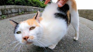 会った瞬間から腰トントンを要求してくる三毛猫