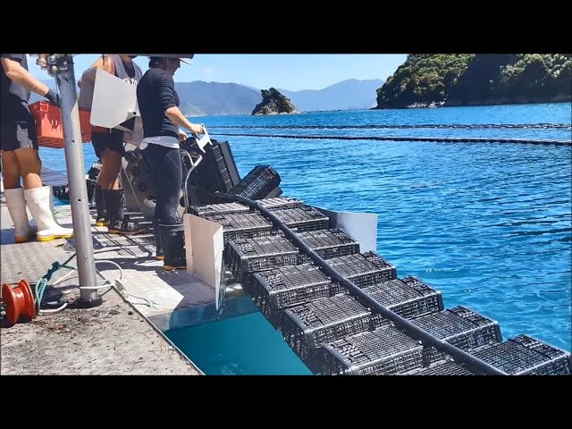 FlipFarm oyster system - restocking baskets with freshly graded oysters