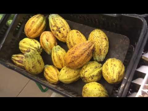 Theobroma Cacao Pods in Multiplaza Supermarket Riba Smith & Valle Anton Market in Panama