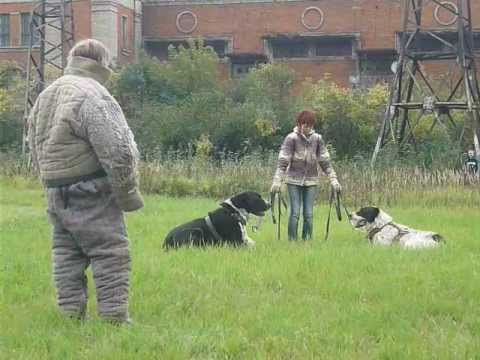 Central Asian Shepherd Dogs Murat and Maisun - security work (command)
