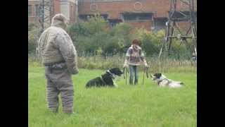 Central Asian Shepherd Dogs Murat and Maisun - security work (command)
