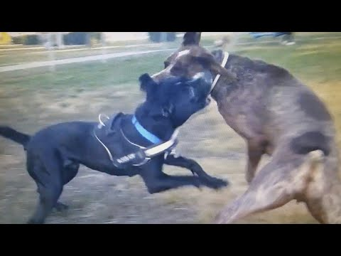 German Shorthaired Pointer Tries To Retaliate Against Mouthy Black Dog At Dog Park