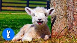 Baby Lamb (Sheep) Goes Baa - Animal Compilations