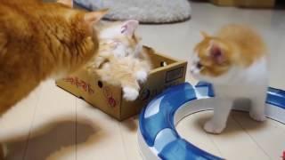 Рыжие котята играют с мамой! Милашки!   Red kitten playing with mom! Cutie!