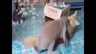 Rabet attack to cat for sex most funniest viral video