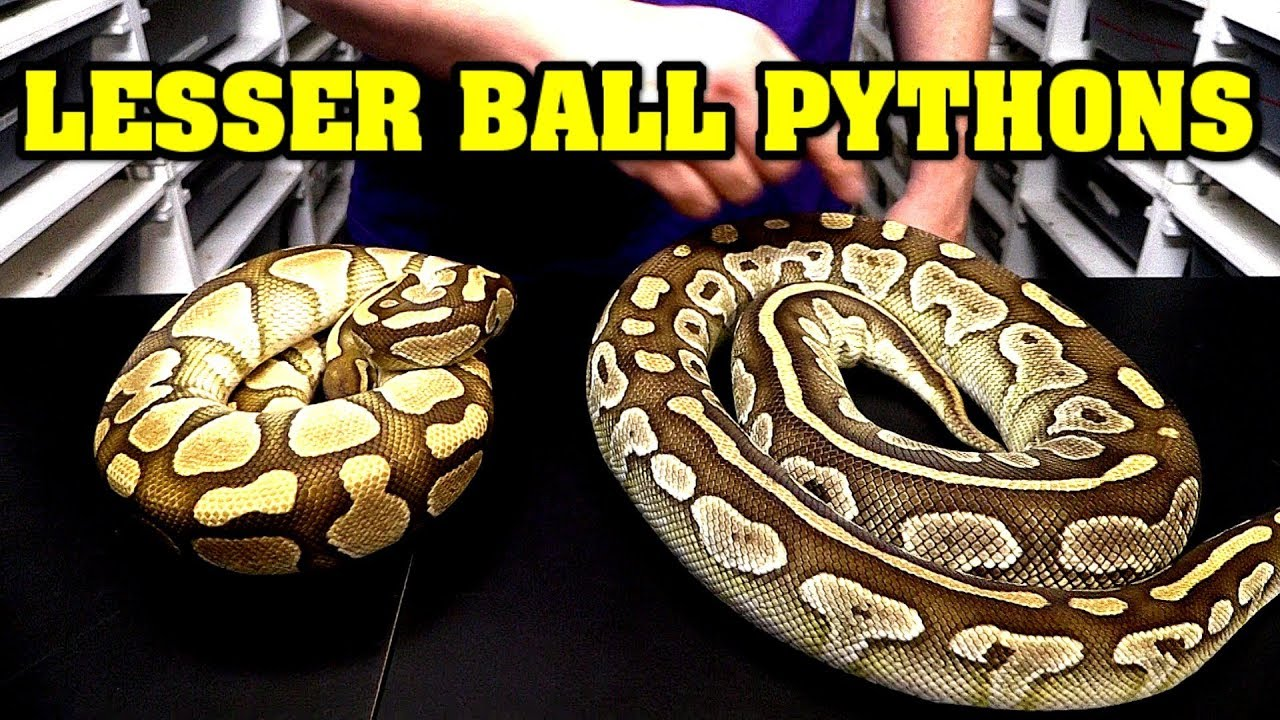 Download All about lesser ball pythons!  Identify, combos, comparisons, etc