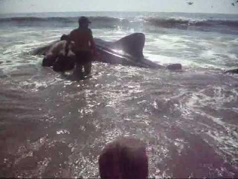 Tiburon Ballena Varado En Playa Matanchen Nayar 237 T M 233 Xico