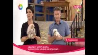 Pomeranian Boo Ve Maltese Terrier Yavruları İclal Aydın'da