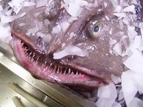 Lantern fish - YouTube