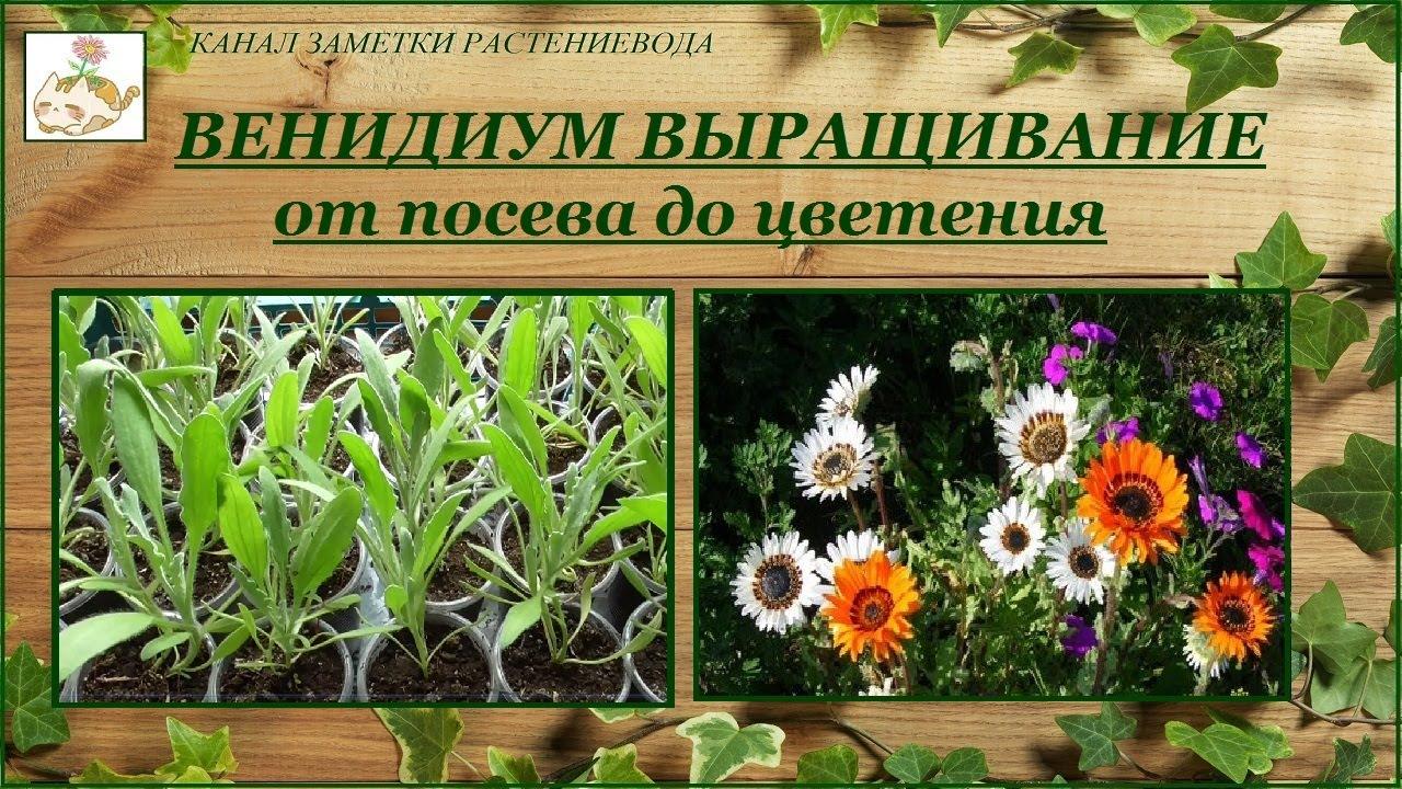 Венидиум пышный (Арктотис великолепный) - выращивание от посева до цветения