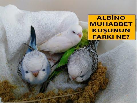 Albino Muhabbet Kuşunun Diğerlerinden Farkı