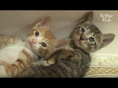 Cat Keeps Stealing Another Cat's Kittens | Kritter Klub