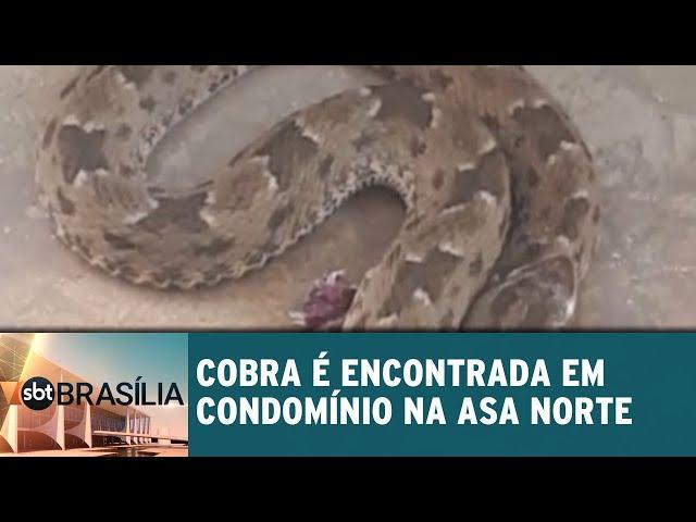 Cobra é encontrada em condomínio na Asa Norte | SBT Brasília 11/03/2019