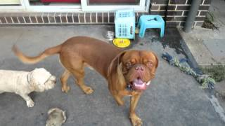 Cute Clarence (dogue De Bordeaux/french Mastiff), Baxter & Basia In Yard - Australia.
