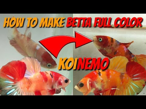 Betta Care - How To Make Betta Full Color Or Betta Mutation