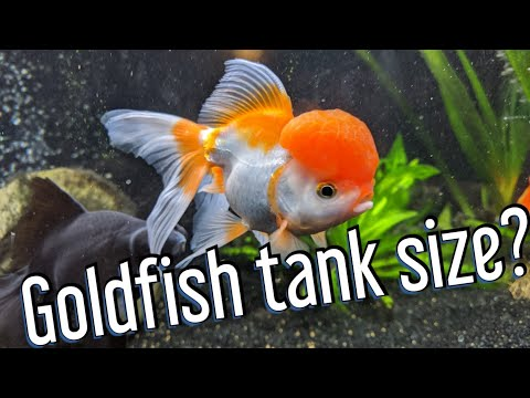 Goldfish Tank Size - What Do They Really Need?