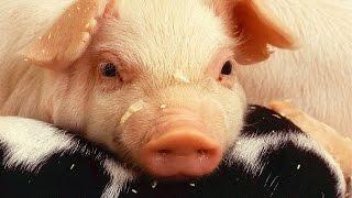 Le petit cochon - Jacky Galou