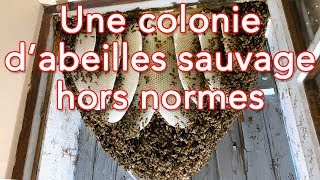 Rescue of a huge and young colony of wild bees