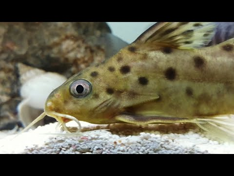 Spotted Catfish With African Cichlids Synodontis Multipunctatus