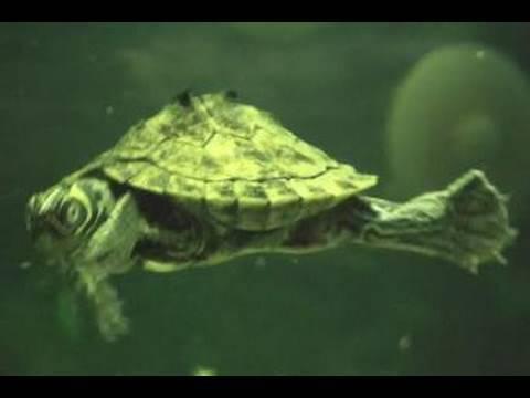 Turtles And Oscar - Freshwater Aquarium