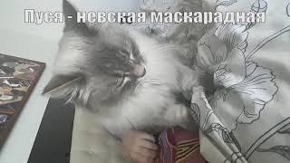 Кошка делает массаж. Невская маскарадная кошка Пуся.