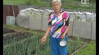 Голова садовая. Как спасти чеснок и лук от вредителей