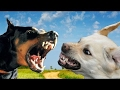 Doberman vs Labrador - Dog Videos [Mr Friend]