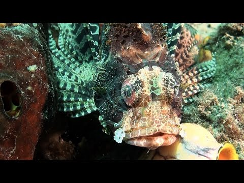 Medical practice TV: Critters of Lembeh Strait