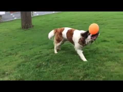 Funny dog playing with a helium balloon.