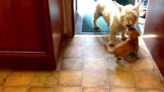 Westie And Teacup Chihuahua Play Tug