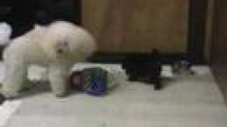 Toy Poodle Puppies Playing #3