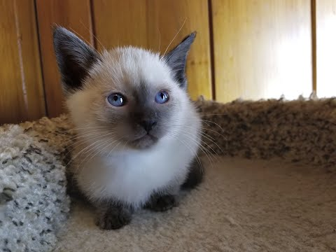 Gorgeous Applehead Siamese and Balinese Kittens Available in North Carolina!