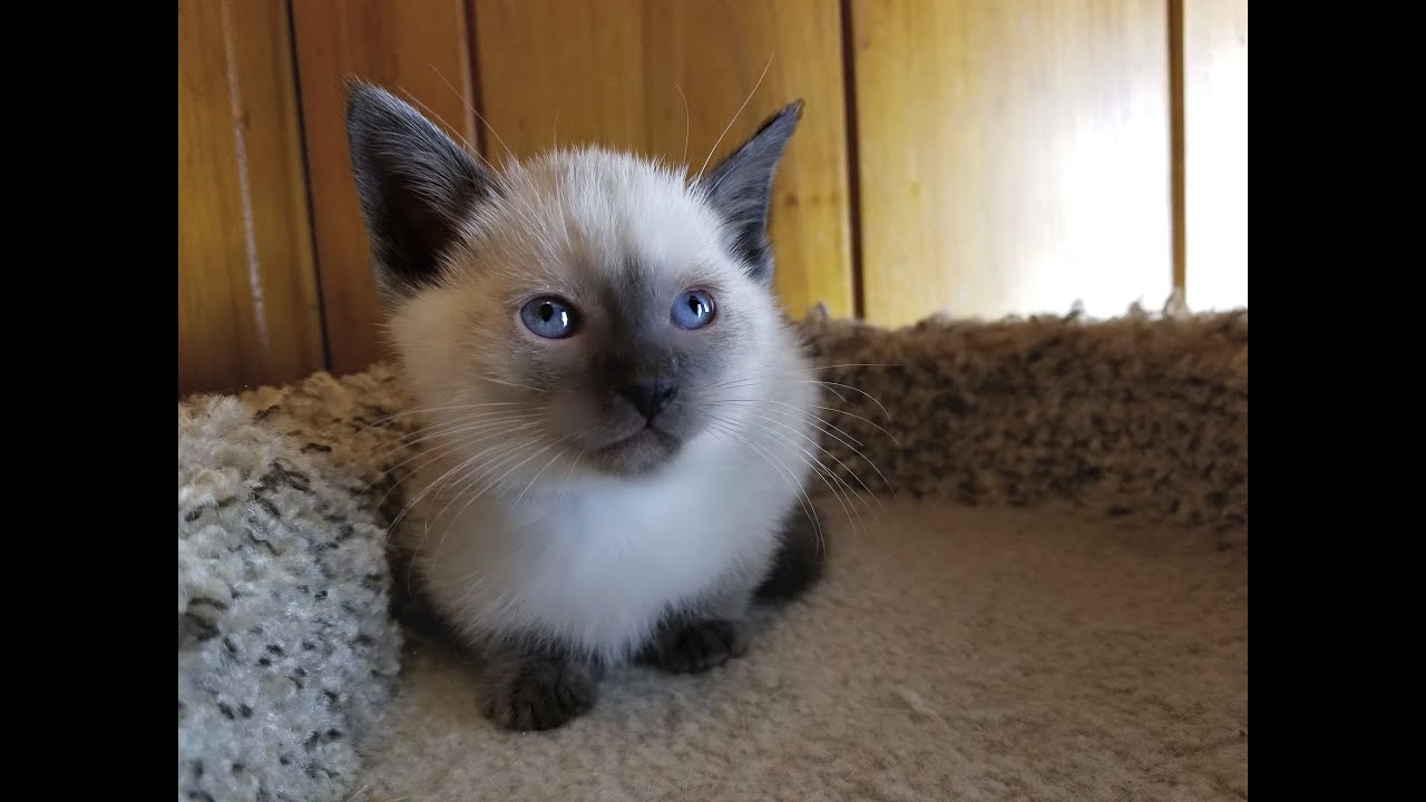 Gorgeous Applehead Siamese And Balinese Kittens Available In North Carolina