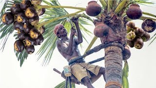 Awesome India Agriculture Tradition Farm - Toddy palmyra fruit harvesting and processing