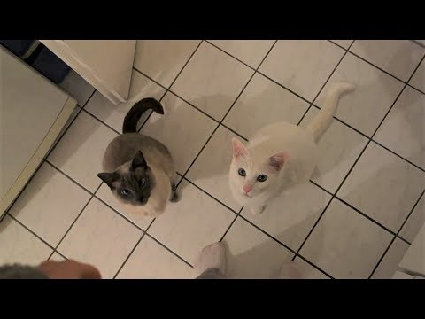 "Otani & Yozora, the trained Siamese Cats do ""sit"" for a treat (Cat Trick)"