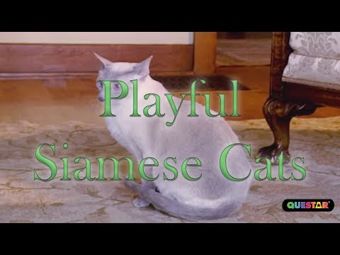 Playful Siamese Cats - Amazing Cats