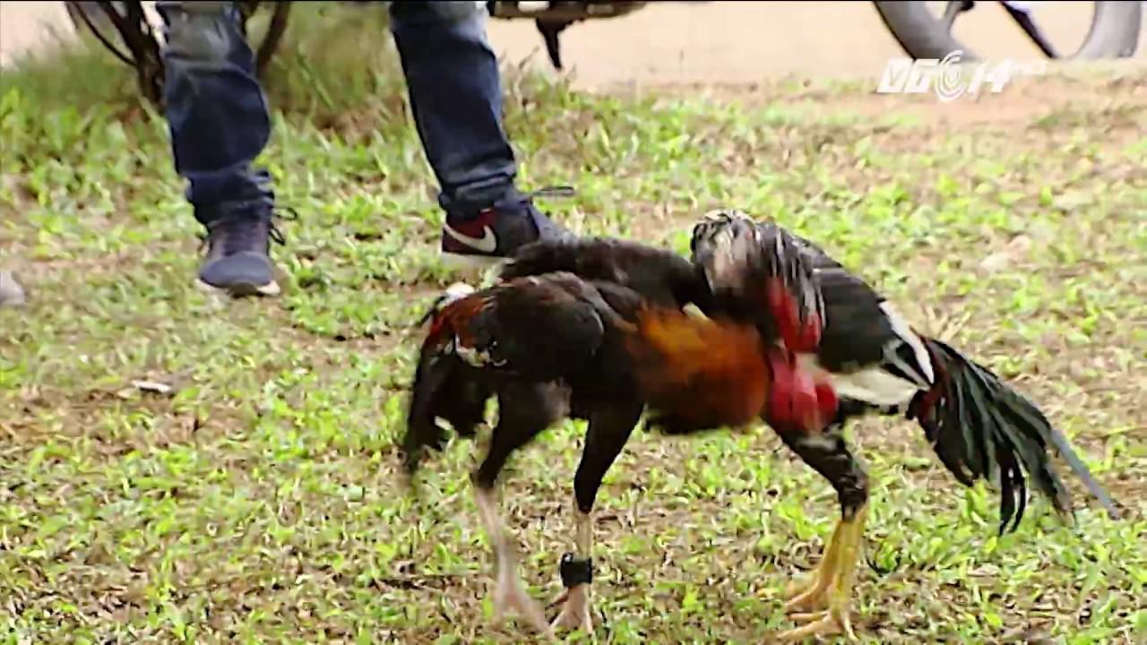 (VTC14)_Chọi gà – thú vui mỗi độ Tết đến xuân về