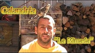 """Calandria  """"La Mimada"""""""