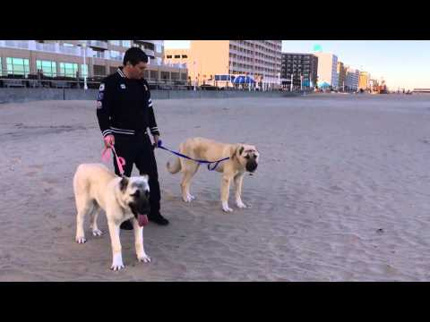 Turkish Boz Shepherds at the beach