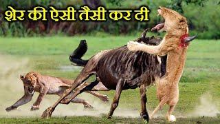 शेर इन जानवरों से क्यों डरता है ? WHY IS THE LION AFRAID OF THESE ANIMALS?