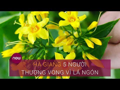 Hà Giang: 5 người thương vong vì lá ngón   VTC Now