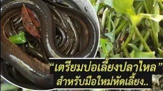 การเลี้ยงปลาไหลนา   เตรียมบ่อเลี้ยงปลาไหลในบ่อซีเมนต์   มือใหม่แบบละเอียด (Swamp eel)