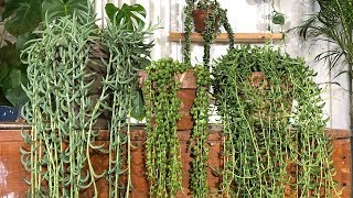 STRING OF PEARLS CARE / Housplant care tips