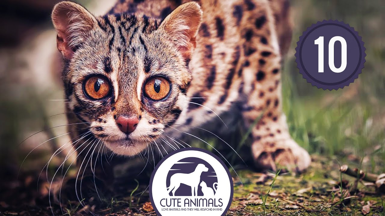 Top 10 Exotic Cats That Are Kept As Pets - YouTube