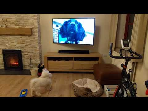 Jerry Getting Excited By Tv Dogs
